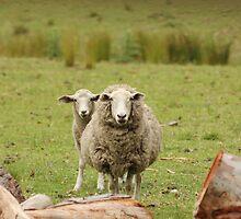 Australian Wool Industry.  Awaba, Newcastle, NSW by Mandy Gwan