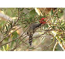 Wattle Bird.  Royal National Park, Sydney, NSW Photographic Print