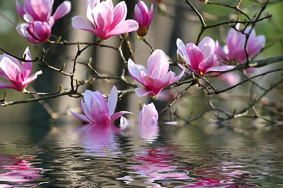Japanese Magnolia in Water by dbvirago