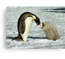 Emperor Penguin Feeding Chick, Antarctica  Canvas Print
