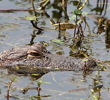 Alligator  by Cynthia Pulsifer Photography