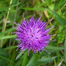 Scottish Thistle by Verity Barnes