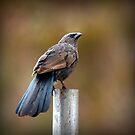 Apostle Bird - Pole Sitter by bekyimage