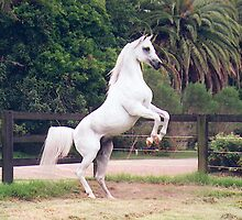 White Stallion by Tanya Hawley