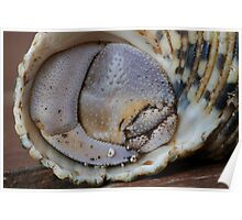 Hermit Crab Claw Poster