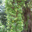 The Mexican Golden Chalice Vine! Growing up Moreton Bay Fig. Bot. Gdns. Adelaide. by Rita Blom