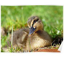 Pretty Please - Daffy Rescued Duckling - NZ Poster