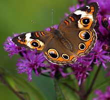 Common Buckeye Butterfly on Ironweed by Kent Nickell