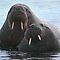 (Land Mammals Category) - Group - Pinniped - Seal, Sealion, Walrus