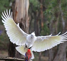 Incoming Cockatoo by LisaGHunter