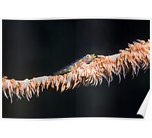 Whip goby Poster