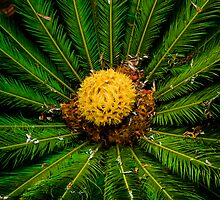 Biggest Cycad I've ever seen by Murray Swift