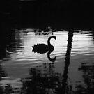Black Swan by Steven McEwan