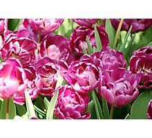 Light Pink Tulips Photographic Print