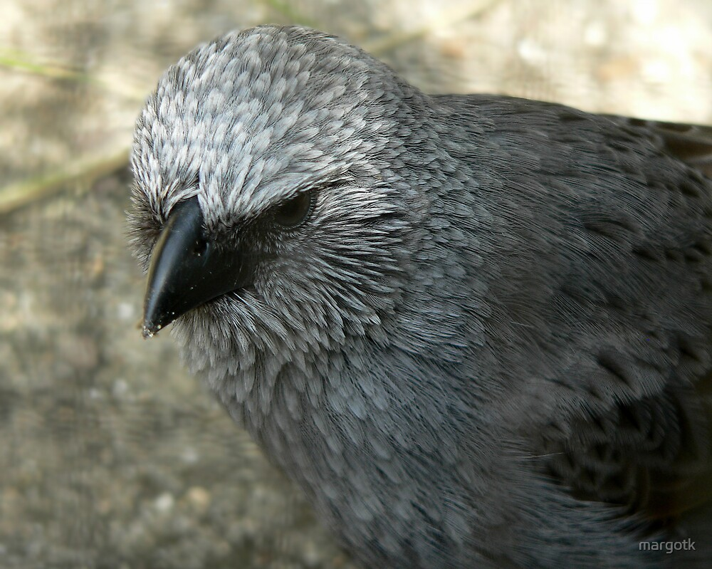 Apostlebird by margotk