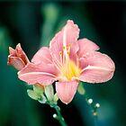 Daylily (Hemerocallis)  by acespace