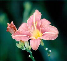 Daylily (Hemerocallis)  by Graham Geldard