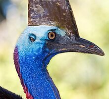 Cassowary by David Wachenfeld
