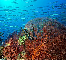 Solomons reef scene by David Wachenfeld