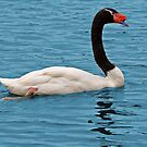 Black-Necked Swan by Delores Knowles