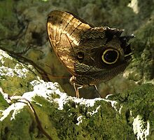 Owl Butterfly with Wings Closed by Judy Gayle Waller