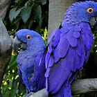 Hyacinth Macaws by dale427