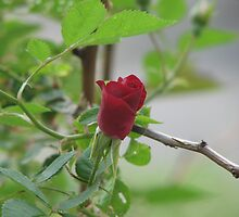 Red red rose by ANibbe