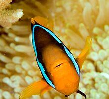 Anemonefish by David Wachenfeld