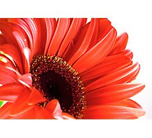 red gerbera closeup Photographic Print