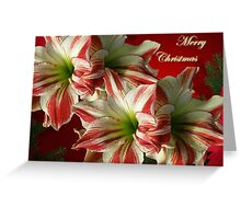 Merry Christmas Greeting Card - Red and White Amaryllis Greeting Card