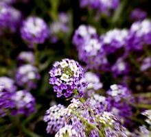 Flowers in Purple and White (Spain 2006) by Darren Robertson