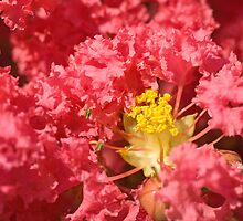 Crepe Myrtle by Mary  Lane