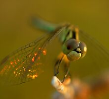 Fiery Dragonfly by Brayden Howie