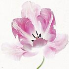 Pink Tulip by Alyson Fennell