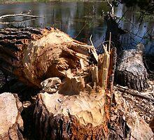 Beaver Skull by Janet Houlihan
