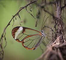 Glasswing butterfly by hanspeters