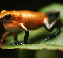 Strawberry poison frog (Oophaga pumilio Almirante) by REPTILICIOUS