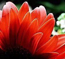 red gerbera petals by Martin Pot