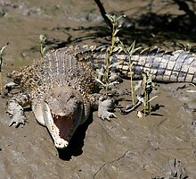 Saltwater Crocodile at Proserpine River by Christopher Meder