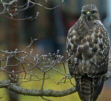 360 Fasinating Hawk by kimbarose