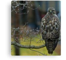 360 Fasinating Hawk Canvas Print