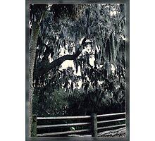 Grey Spanish Moss Photographic Print