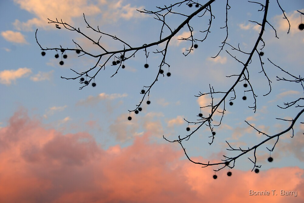 Sweet Gum Tree Branch Against Rosy Clouds by Bonnie T.  Barry