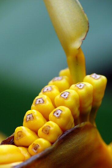 Yellow Seeds in a Pod  by ~ Fir Mamat ~