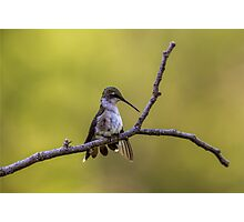 Ruby-Throated Hummingbird - 12 Photographic Print