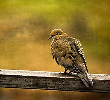 Mourning Dove by cresslerphotos