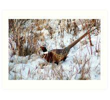 Ringneck Pheasent Art Print