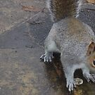 Ceril the squirrel by brucemlong
