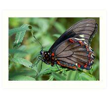 Zebra Longwing butterfly. Art Print