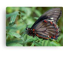 Zebra Longwing butterfly. Canvas Print